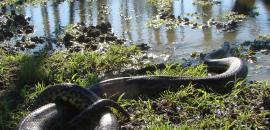 Project for the conservation and sustainable use of the yellow anaconda