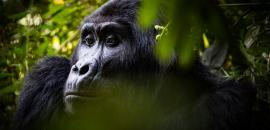 Alliance for the Conservation of Great Apes in Central Africa