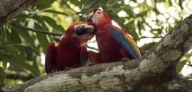 Reintroducing scarlet macaws in Mexico