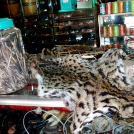 Fishing cat skins on display at a local market.