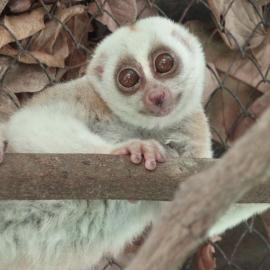 a photo of a slow loris in a holding pen