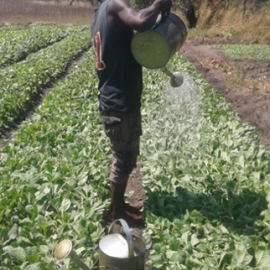 Manual crop irrigation in Kasungu.