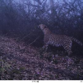 Persian leopard caught on a camera trap in northern Iran.