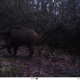 Wild pig caught on a camera trap in northern Iran.