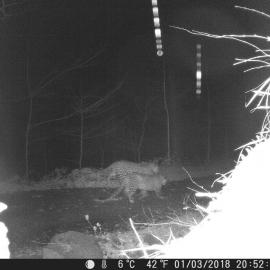 Two Persian leopards caught on a camera trap in northern Iran