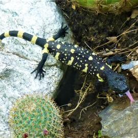 Newborn of Guatemalan beaded lizard found in the wild