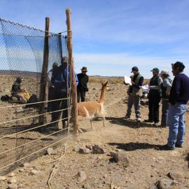 Supervision of the capture and shearing of live vicuñas in the Huayllapata Sector of the Reserve by staff of SERNANP, The Ayacucho Regional Government and the Lucanas Rural Community. Credit: SERNANP – Reserva Nacional Pampa Galeras Bárbara D'Achille