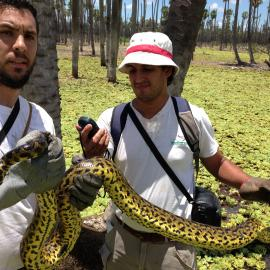 Staff from Fundación Biodiversidad carrying out research on the yellow anaconda. Credit: Mariano Barros
