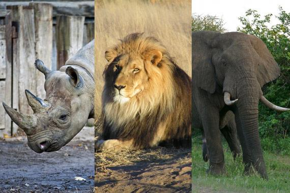 A photographic composition of a Rhino, Elephant and Lion.