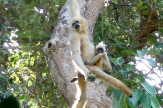 A photo of the recently described Northern buff-cheeked gibbon swinging from a branch in a tree.