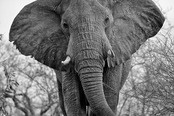 African elephant full frontal in black and white.