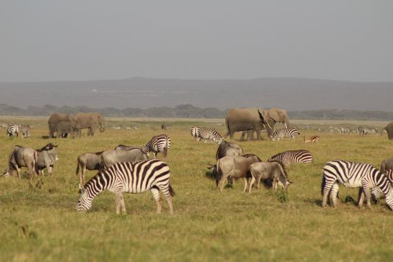 Wildlife such as elephants, zebras and more graze the Amboseli landscape.
