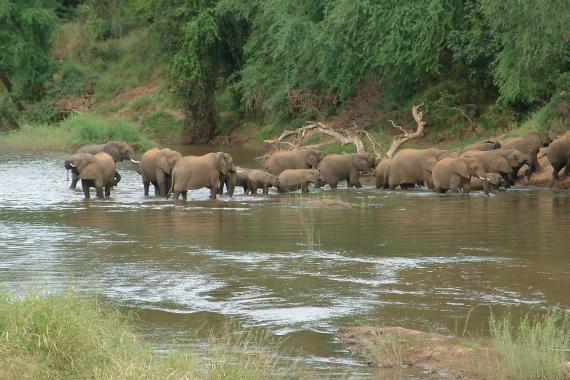 A herd of elephants crossing the Luvuvhu River