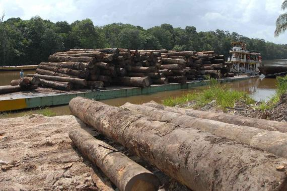 The trunks of illegally logged trees in Brazil, waiting to be transported down river.