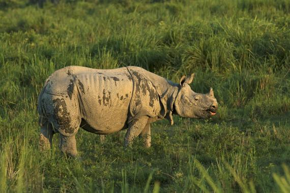 Greater one-horned rhino grazing
