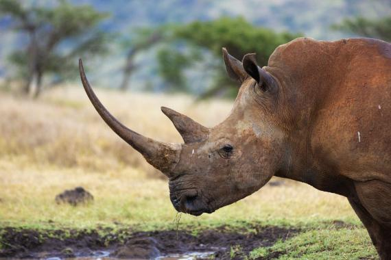 Profile of female white rhino with very long horn