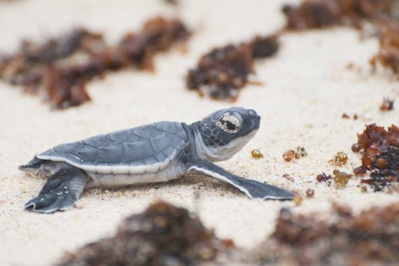 A green turtle hatchling on a beach