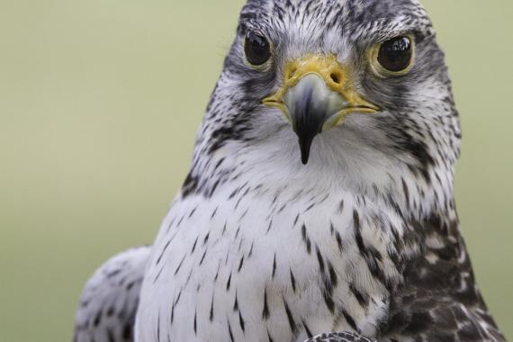 Photo of the a saker falcon looking at the camera.
