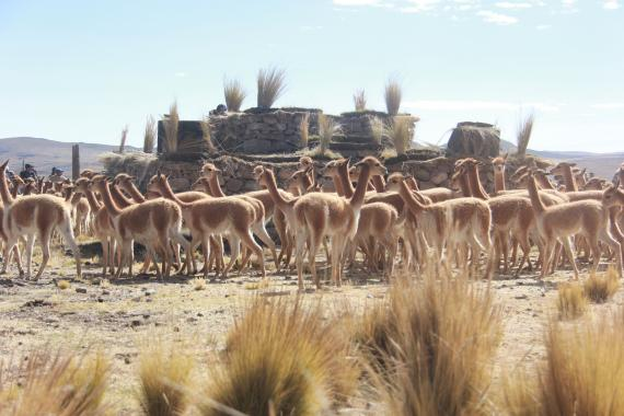 Vicuñas being penned for subsequent shearing. Credit: SERNANP – Reserva Nacional Pampa Galeras Bárbara D'Achille