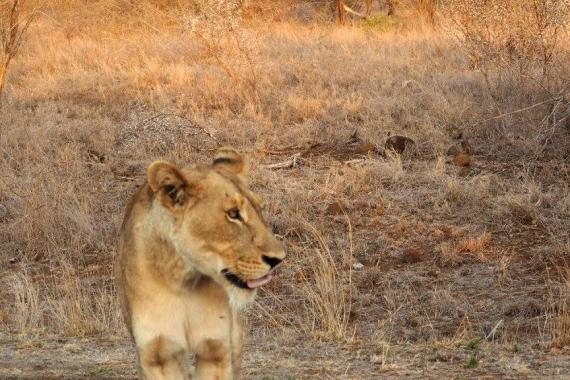 Lioness in Kruger National Park.