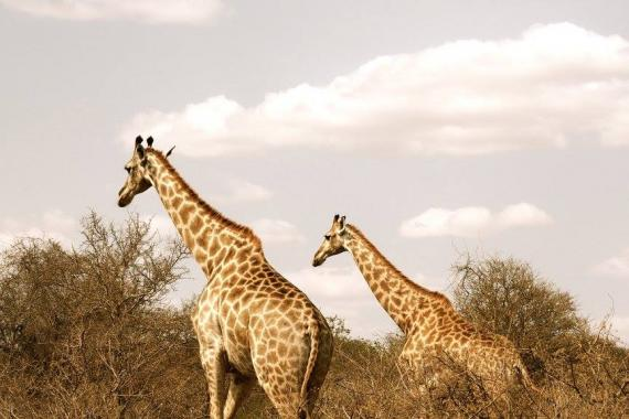 Two giraffes together.