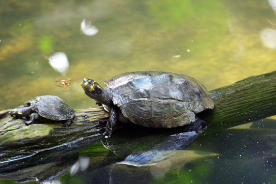 Amazon Yellow-spotted River Turtle.
