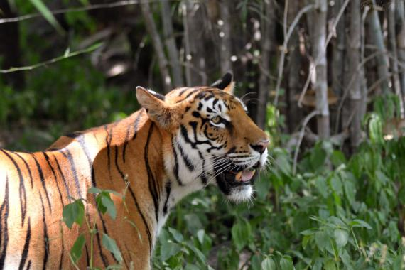 Royal Bengal Tiger