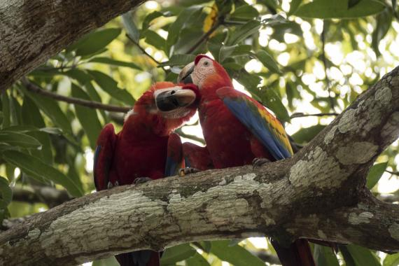Pair of scarlet macaws.