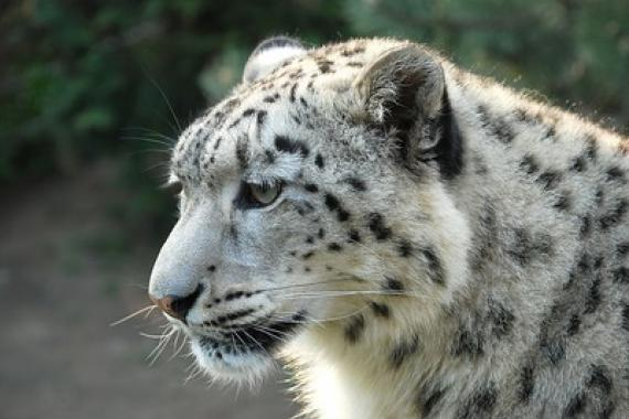 Snow leopard close up.
