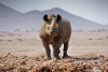 Black Rhino - Photo by Conservancy Rhino Ranger Support Group