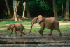 Forest elephant mother with young