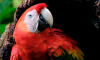 Scarlet macaw emerging from its nest in the trunk of a tree